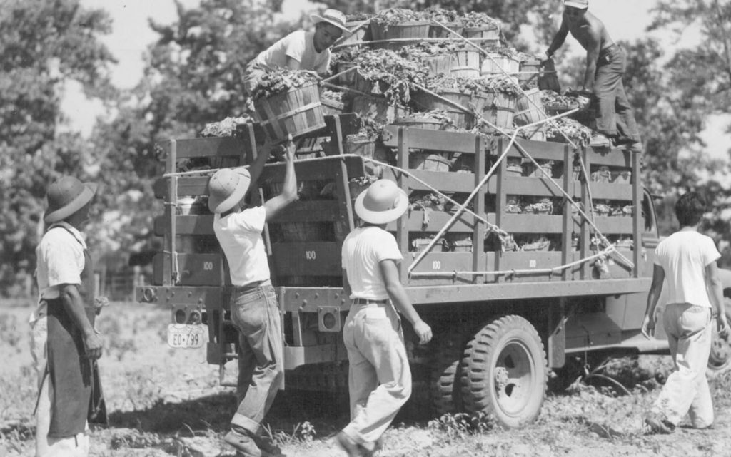 One of many truckloads of mustard harvested by the residents of the Rohwer Relocation Center on the land cultivated by the evacuees. Photographed by Mace, Charles E. -- McGehee, Arkansas. 7/1943. // Photo Courtesy of the National Archives and