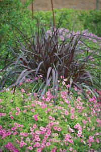 Supertunia® Vista Bubblegum® Petunia is an annual flower that is showy from spring until the first autumn frost. Pair it with Vertigo® Purple Fountain Grass to create a combo that steps outside the usual fall color palette.
