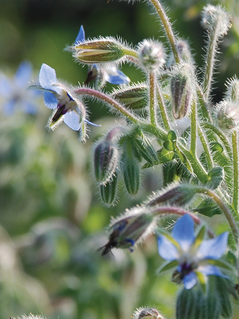Honeybees that frequent borage (Borage officinalis) flowers produce an exceptional honey.