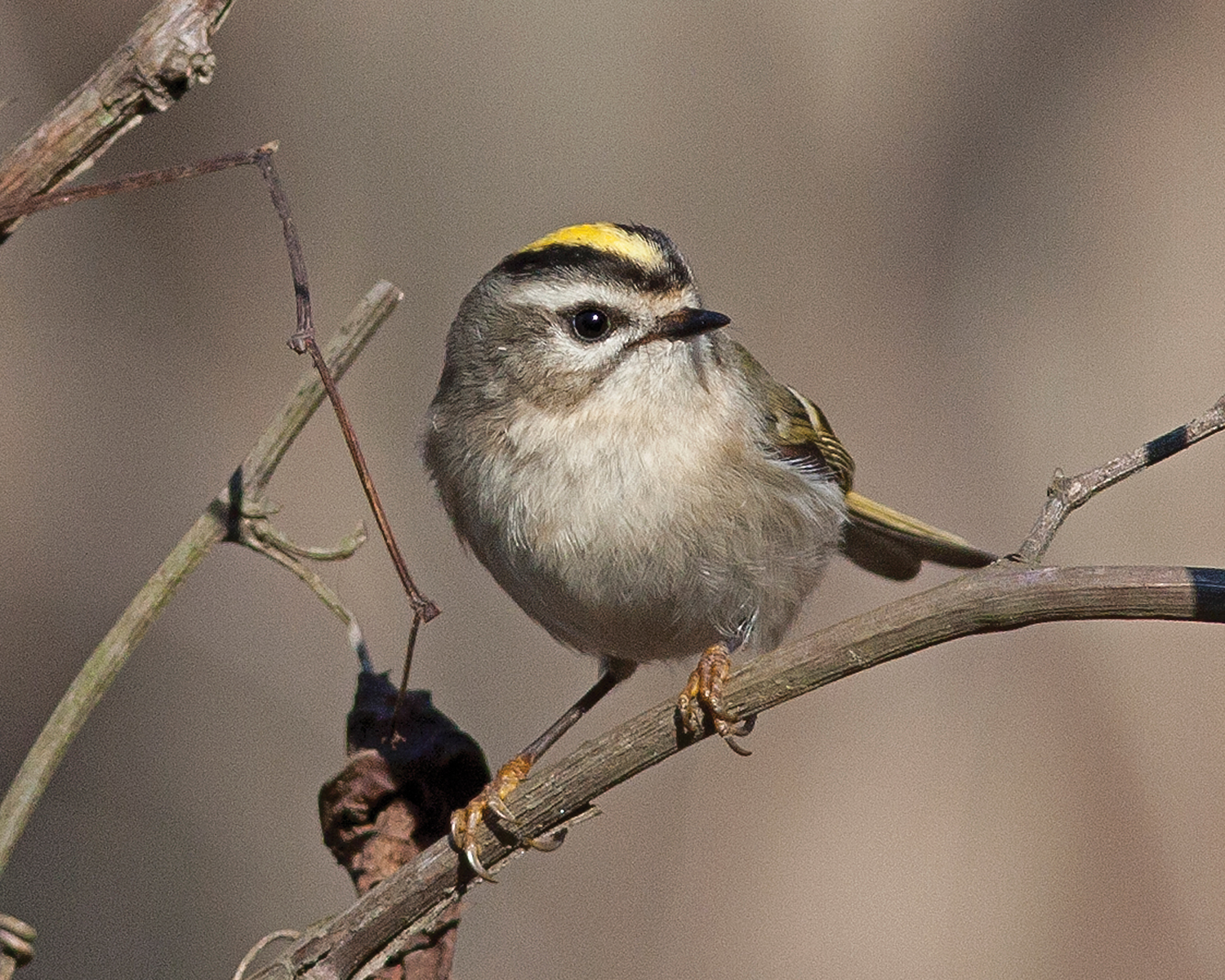 Golden-crowned kinglet; taken at the Governor Mike Huckabee Nature Center, Pine Bluff.