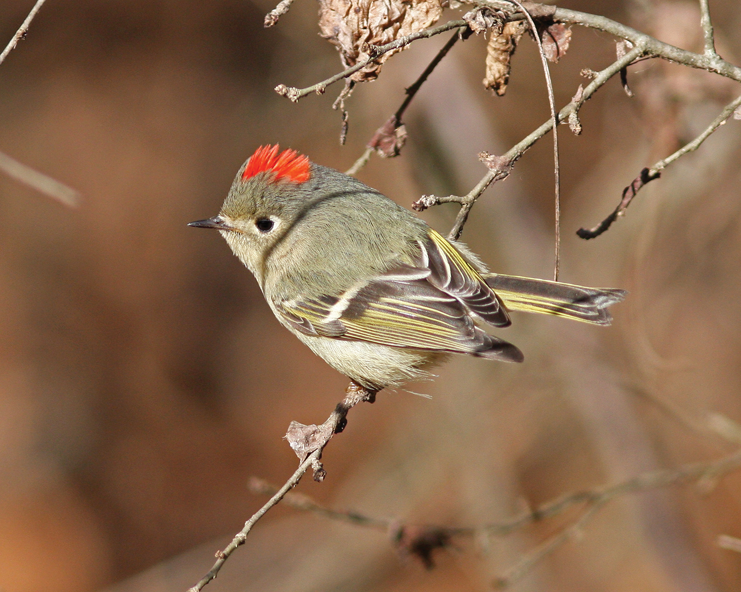 Ruby-crowned kinglet; taken at the Governor Mike Huckabee Nature Center, Pine Bluff.