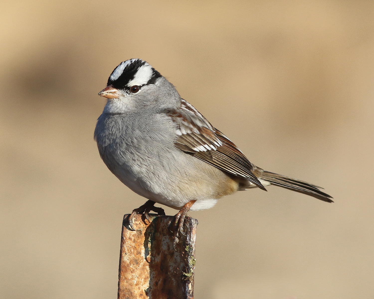 White-crowned sparrow; taken on a farm road south of Pine Bluff.