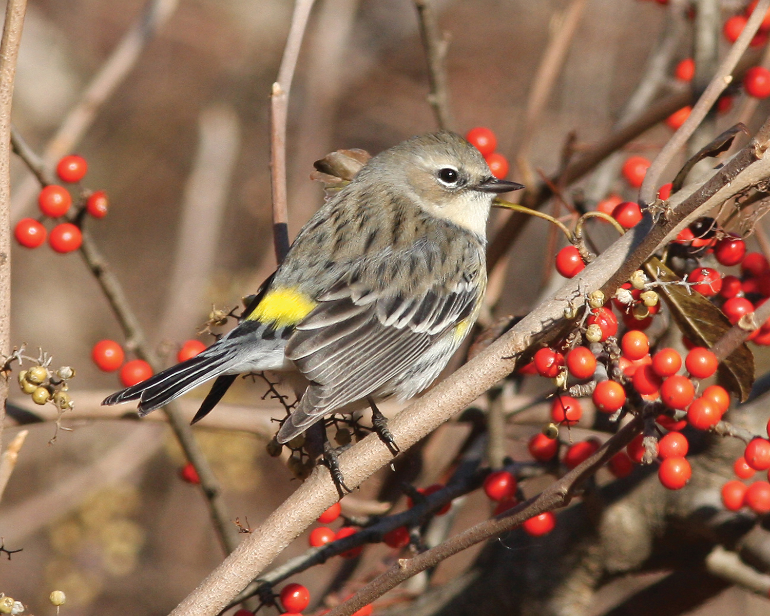 Yellow-rumped warbler; taken at the Governor Mike Huckabee Nature Center, Pine Bluff.