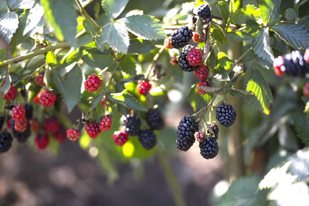 Blackberries are a summer favorite for both sweet and savory dishes. / Photo credit: Mark Fonville