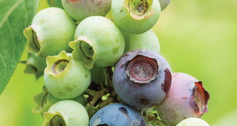P. Allen Smith: Homegrown Berries