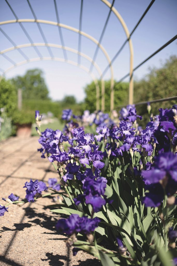 Once this bountiful clump of irises starts to decline, I'll know it's time to divide and replant them. They tend to outgrow their space within 3 to 5 years, but they are easy to thin out so they'll continue to thrive for many years to come. Photo by Jane Colclasure