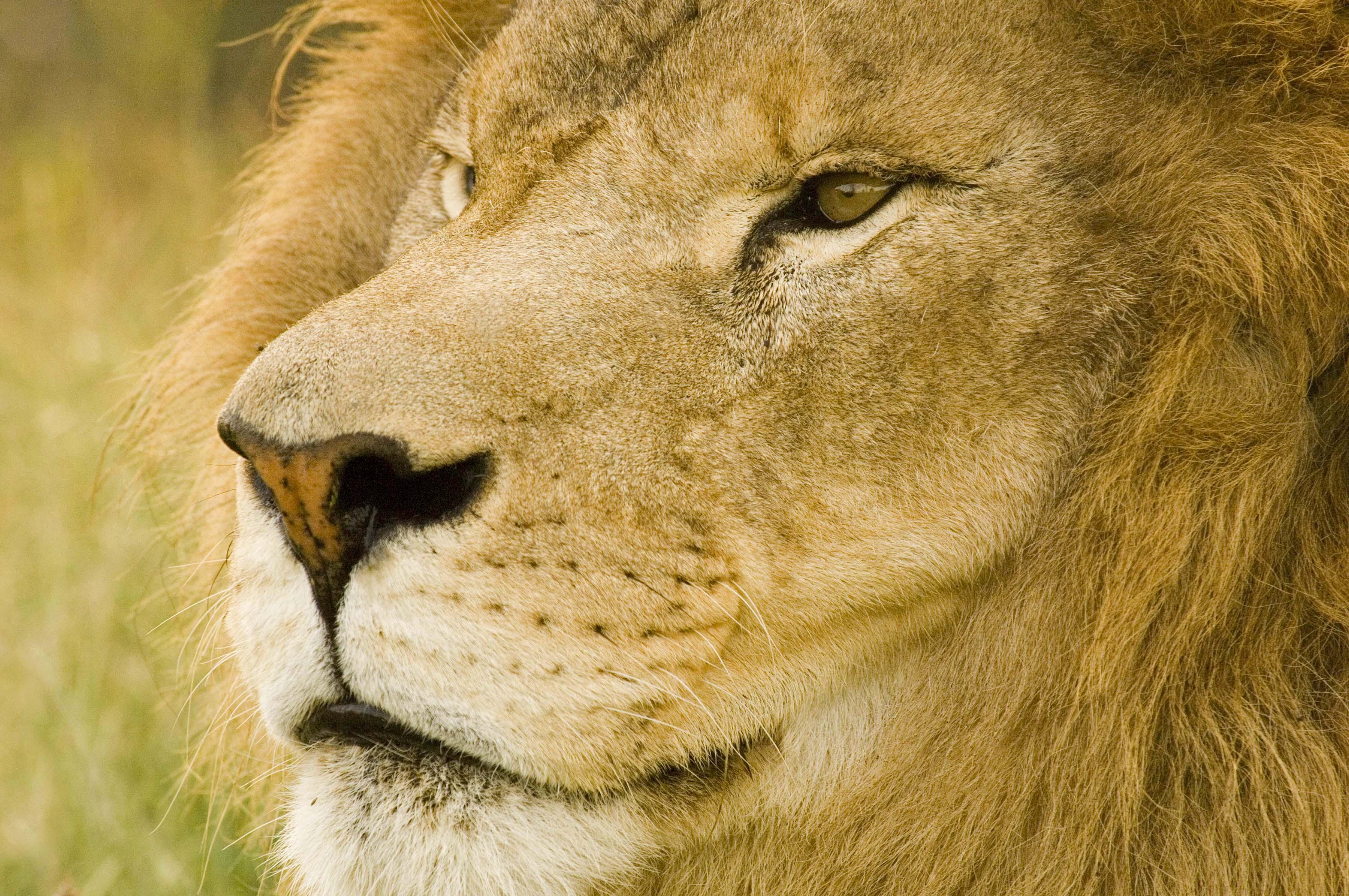 turpentine_lion_7