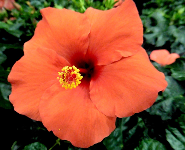 Hibiscus flowers range from white, yellow, orange, pink, red and multi-colored.
